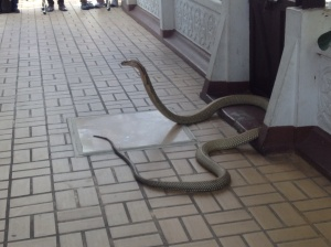 And the King Cobra that was a little close for comfort!
