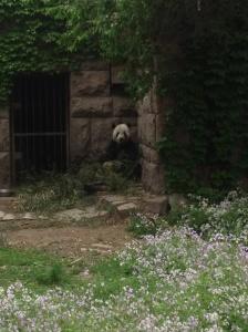 Eating panda.