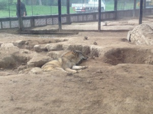 The wolves in their less than adequate exhibit.