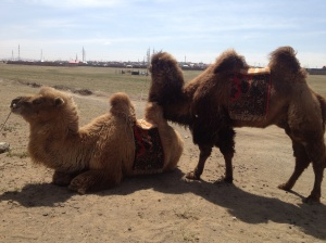Some camels we passed on the way to the ger camp.