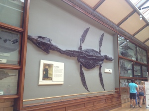 A wall-mounted plesiosaur skeleton.