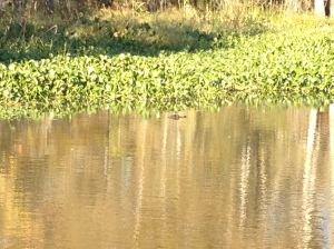 One of our few small glimpses of a gator.